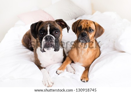 Cute Boxer Dog and His Buddy Puggle