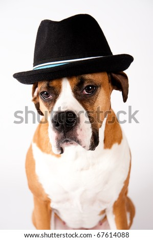 Cute Boxer Mix Dog in Blac Fedora Hat - stock photo