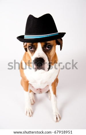 Cute Boxer Mix Dog in Black Fedora Hat - stock photo