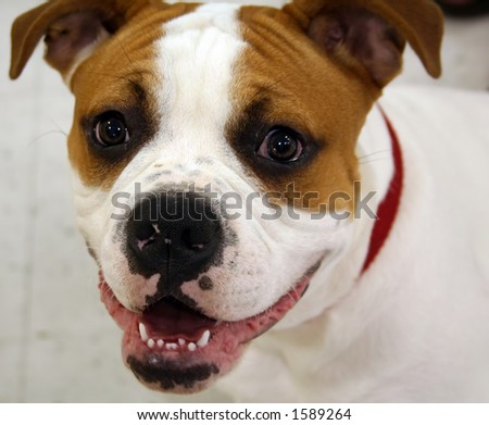 Cute Boxer puppy dog smiling - stock photo