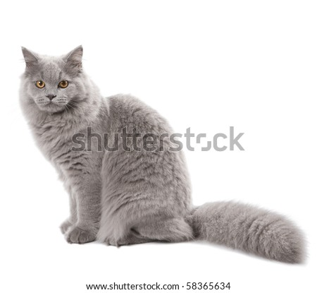 cute british cat isolated - stock photo