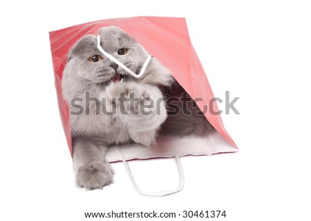 cute British kitten in red bag isolated - stock photo