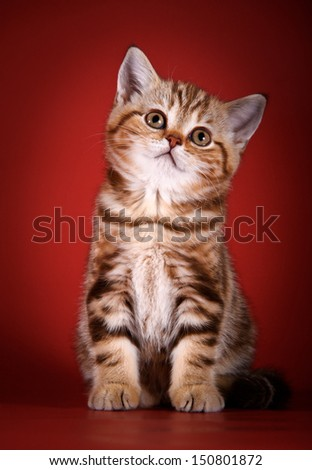 cute British kitten, striped, thick, beautiful - stock photo