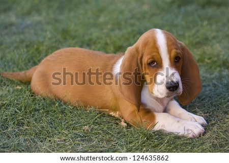 Cute brown and white Basset Hound puppy lying down outdoors in the green grass - stock photo