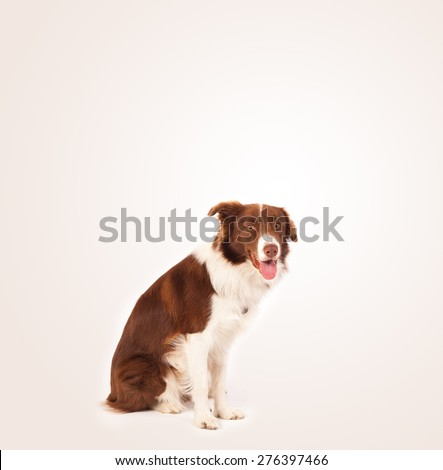 Cute brown and white border collie with empty space - stock photo