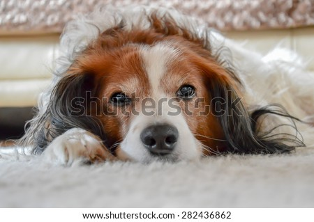 Cute brown and white dog laying on carpet - stock photo