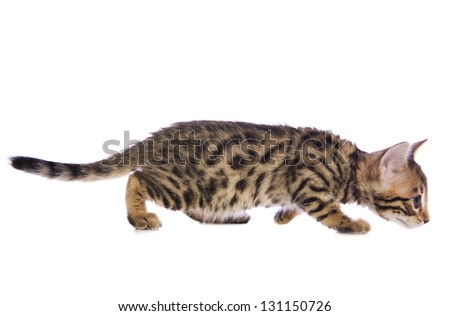 Cute brown Bengal kitten side view crouched stalking isolated on white background - stock photo