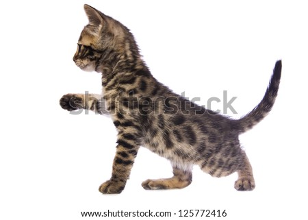 Cute brown Bengal kitten sideview with paw up isolated on white background - stock photo
