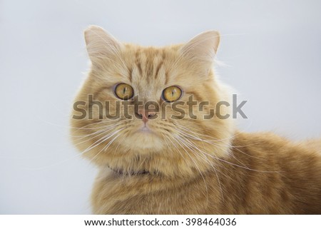 Cute brown cat pet sitting, adorable kitten looking at camera. furry mammal isolated on white background, close up portrait cat - stock photo