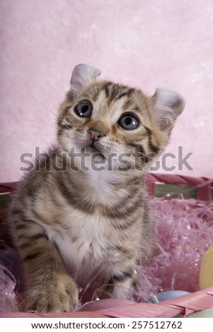 Cute brown curl ear kitten inside Easter basket with eggs on pink background - stock photo