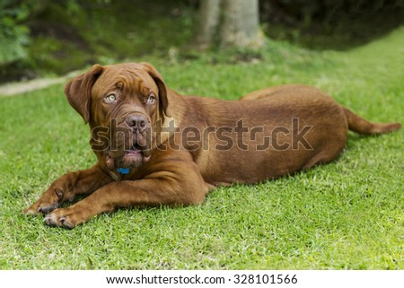 cute brown dog Ridgeback portrait in a grass garden - stock photo