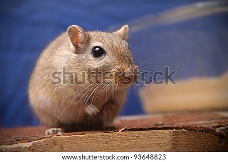 cute brown gerbil watching into camera