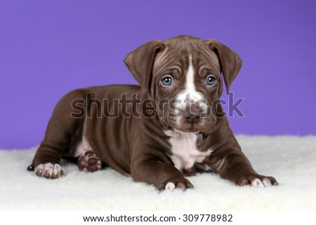 Cute brown puppy on a purple background