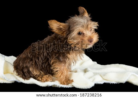 Cute brown Yorkshire terrier in a bed of white blanket against a black background