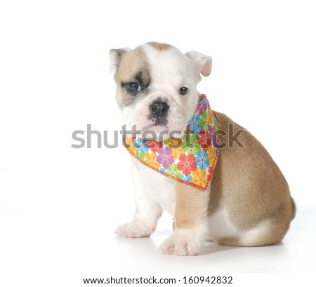 cute bulldog puppy female wearing flowered bandanna isolated on white background - 7 weeks old - stock photo