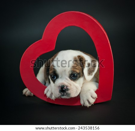 Cute Bulldog puppy laying in a heart on a black background. - stock photo