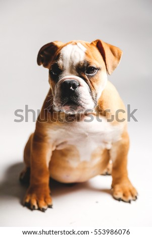 Cute Bulldog Puppy on White Background