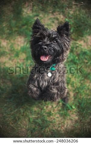 Cute Cairn Terrier dog, portrait close, summer - stock photo