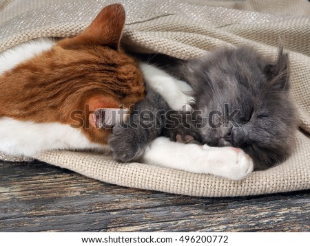 Cute cat and kitten asleep hugging under a blanket on the floor. The content of cats, love animals, cats and kitty relationship