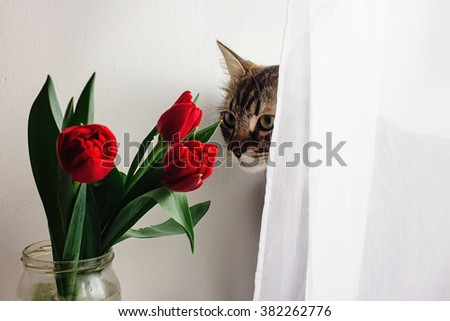 cute cat in stylish bowtie with beautiful fresh red tulips on white background, spring time, holiday card concept - stock photo