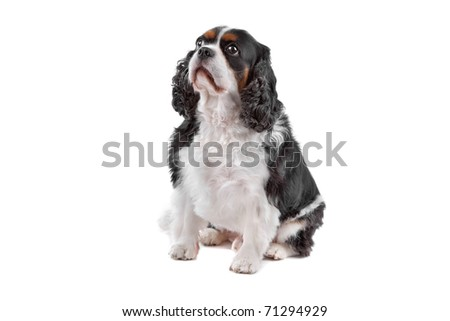 Cute Cavalier King Charles Spaniel dog sitting, on a white background