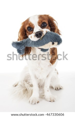 Cute cavalier king charles spaniel want to play.