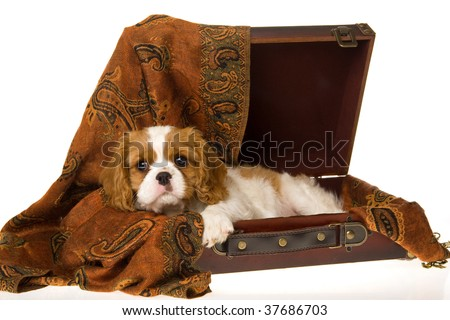 Cute Cavalier Spaniel puppy in brown suitcase, on white background