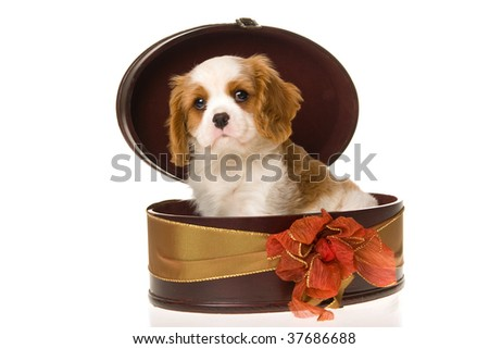 Cute Cavalier Spaniel puppy in gift box, on white background