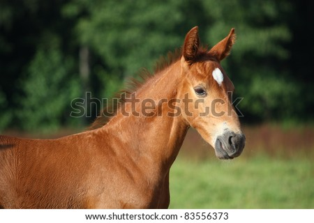 Cute chestnut foal portrait