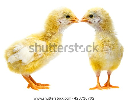 cute chickens  - stock photo
