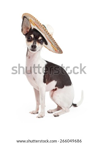 Cute Chihuahua breed dog sitting up tall on a white background while wearing a big Mexican sombrero hat - stock photo