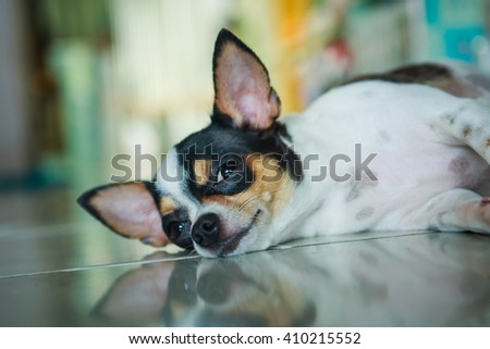 Cute Chihuahua,Chihuahua, Chihuahua, cute, pets, lovely pet,animals, dogs. - stock photo