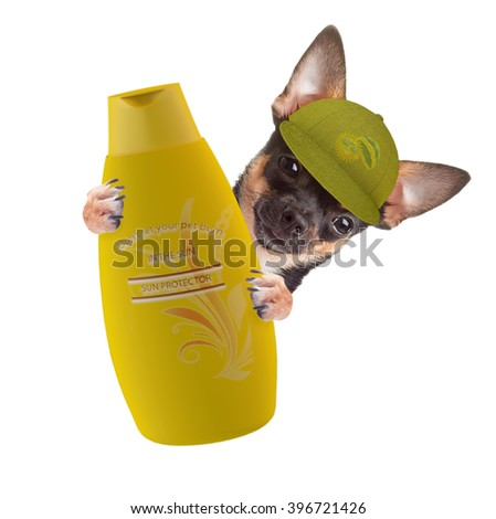 Cute Chihuahua dog give warning that pets can sun burn too, isolated on white background - stock photo