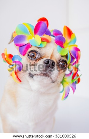 Cute Chihuahua  dog wearing Flower crown on white background. - stock photo