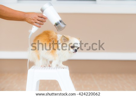 cute chihuahua dog with hairdryer after take a bath