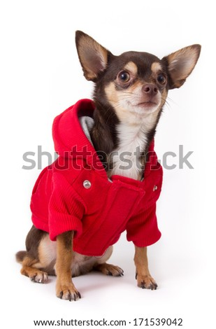 cute chihuahua dog with red coat