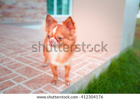 cute chihuahua in home