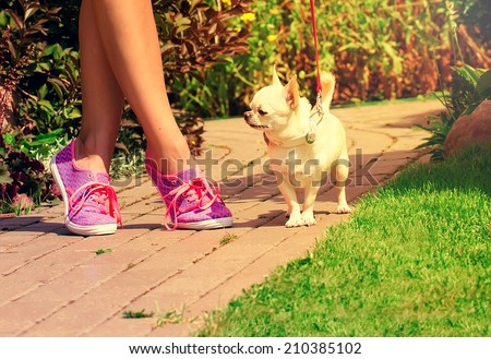 cute chihuahua in the park on a sunny summer day - stock photo
