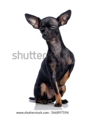 Cute Chihuahua isolated on white