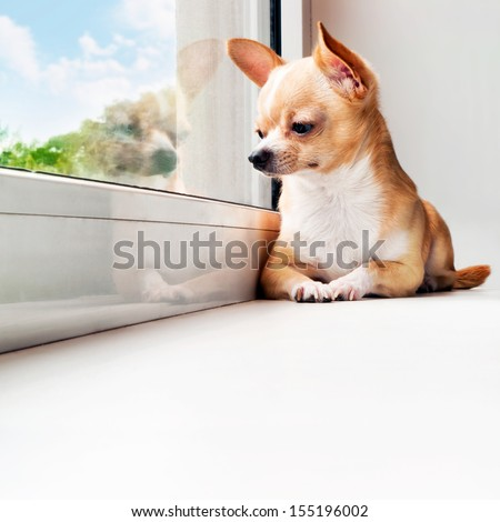 Cute chihuahua looking out the window. Small dog waiting for walking. Alone home. Friendly mini dog. - stock photo