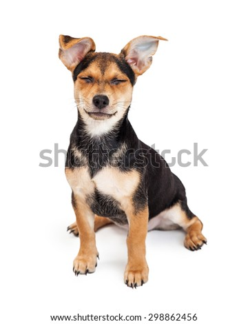Cute Chihuahua Mixed Breed Three Month Old Puppy sitting with a funny expression and both eyes closed - stock photo