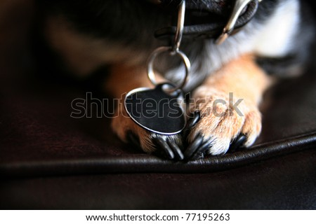 cute chihuahua paws - stock photo