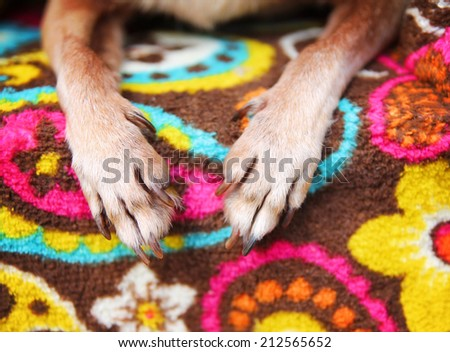 cute chihuahua paws on a paisley blanket  - stock photo