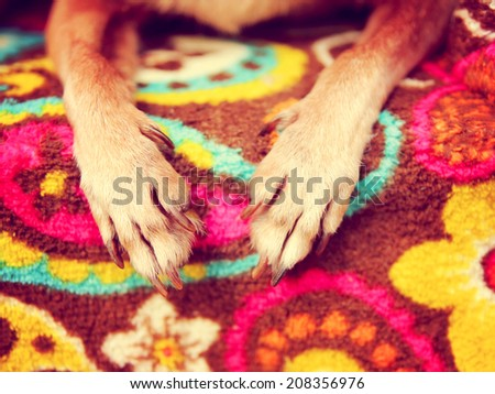 cute chihuahua paws on a paisley blanket  toned with a retro vintage instagram filter - stock photo