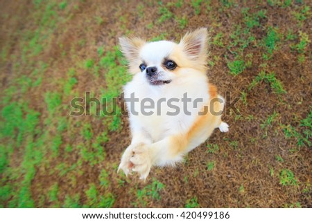 cute chihuahua play in field of grass ,wait for food