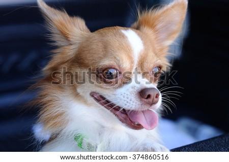 Cute chihuahua portrait - stock photo