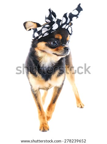 Cute chihuahua puppy in color dots kerchief isolated on white - stock photo