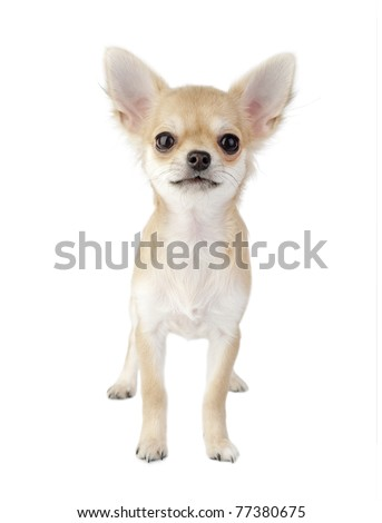 cute chihuahua puppy standing straight looking at camera isolated on white background - stock photo