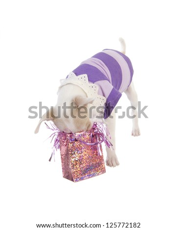 Cute Chihuahua Puppy with nose inside pink birthday gift bag wearing purple shirt isolated on white background - stock photo