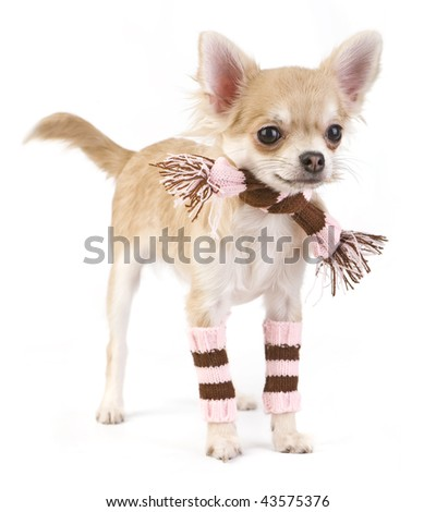cute chihuahua puppy with striped socks and scarf isolated on white - stock photo